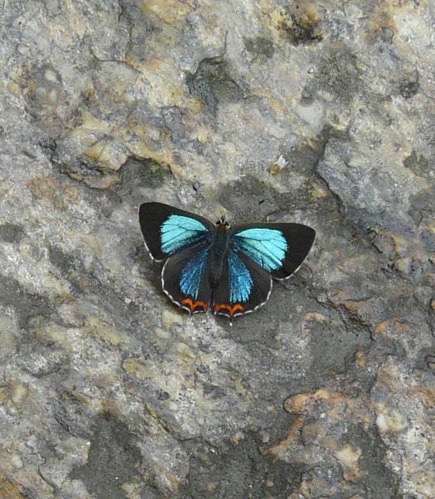butterfly_nepal